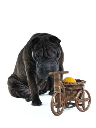 Dog is Smelling Wooden Bycicle with lemon inside photo