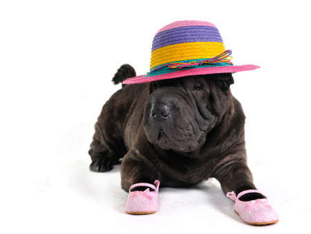 Fashionable Sharp-Pei is lying in Hat and Sandals photo