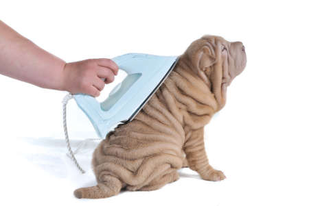 dry and clean: Wrinkled Puppy of Shar-Pei Being Ironed