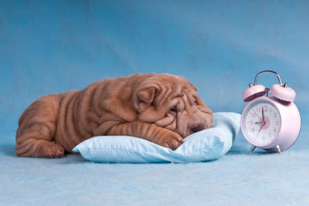 perro boxer: Cute Puppy reacio a wake-up y dormido la alarma
