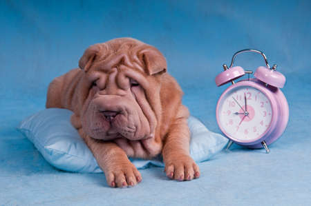 Sleepy Shar-Pei lying on Pillow with Alarm Clock photo
