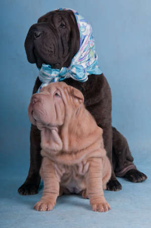 Shar-pei friends funny picture photo