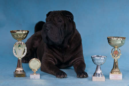 sharpei: Proud multi-champion Shar-pei dog lying down