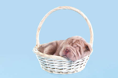 Little puppy dreaming sweetly in a basket photo