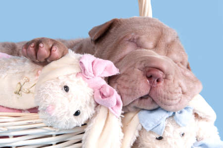 Cute puppy of dogue de bordeaux sleeping with a toy in a basket photo