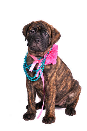Glamour Puppy wearing a necklace and a bow photo