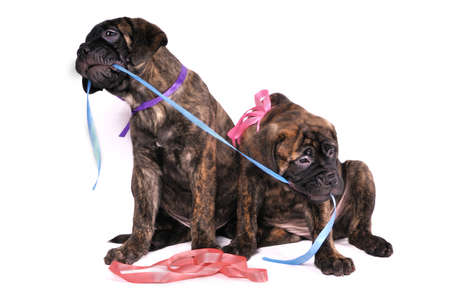 Puppies Playing with a Ribbon photo