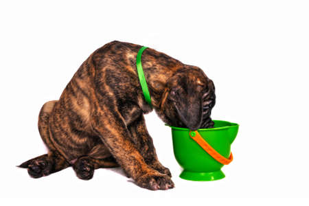 sniffing: Puppy Sniffing a toy bucket Stock Photo