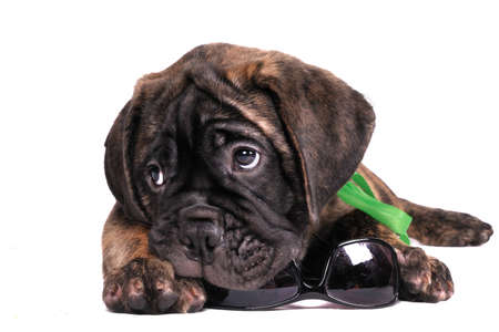 chew over: Holiday time - Puppy is packing his sunglasses Stock Photo