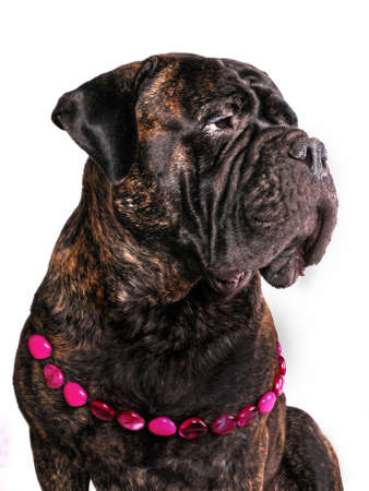 Female Adult Bulmastiff in Necklace photo