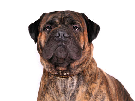 Portrait of an adult bullmastiff photo
