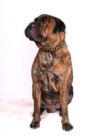 Big Adult Bulmastiff in Sitting Position photo