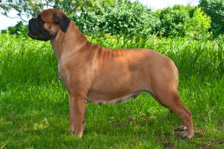 Fine Champion Standing of Bullmastiff photo