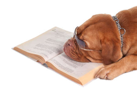 Dogue de bordeaux is having a break after reading its lessons photo