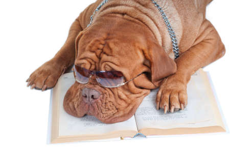 dogue de bordeaux with glasses sleeping over a book photo