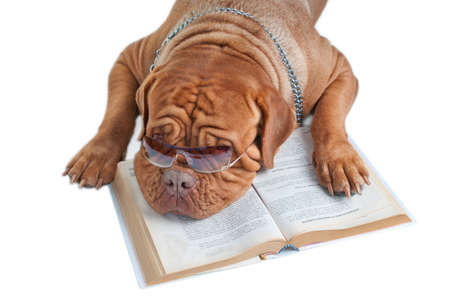 Dogue de bordeaux is having a break after reading a book Stock Photo - 7413847