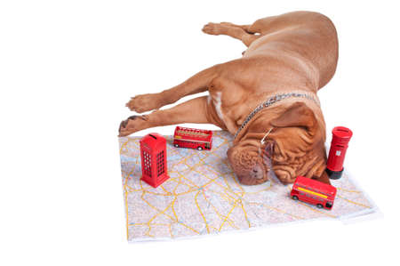 Dog tired of planning its trip to UK Stock Photo - 7413838