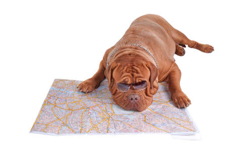 Dogue de Bordeaux tired of planning a trip Stock Photo - 7413844