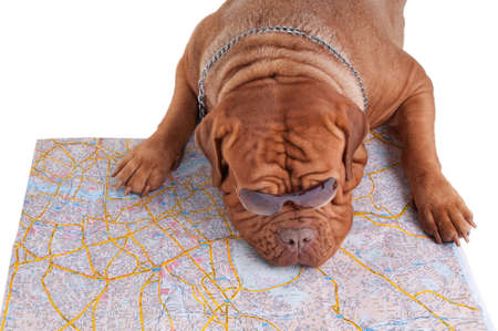 Dog de bordeaux is planning its summer vacation Stock Photo - 7413868