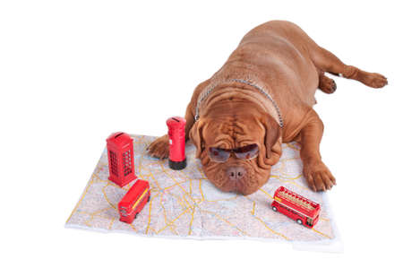 Dog de bordeaux is planning a trip to London Stock Photo - 7413837