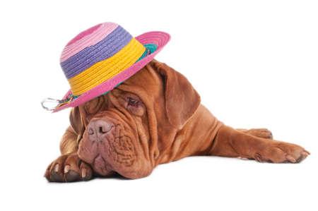 perro triste: Perro triste contando los d�as que quedan hasta las vacaciones de verano  Foto de archivo
