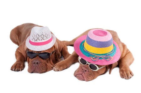 molosse: Two dogs with summer hats and sunglasses ready for holiday
