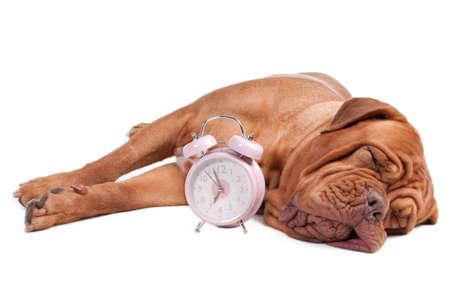 Dogue de bordeaux with an alarm clock photo