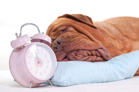 molosse: Close-up of a sleeping dogue de bordeaux on a pillow