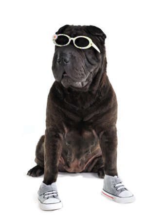 Sporty casual Shar-pei in glasses and shoes photo