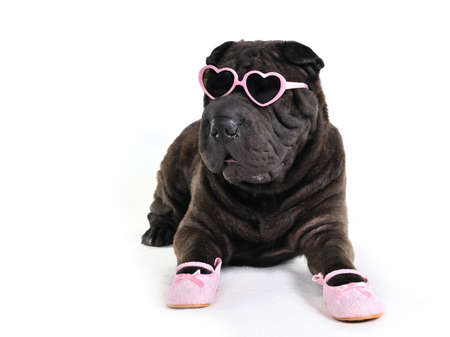 Glamour Dog in Glasses and Shoes photo