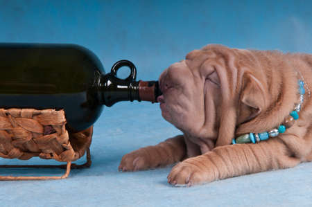 rhum: Funny Puppy is Drinking Wine from the Bottle Stock Photo