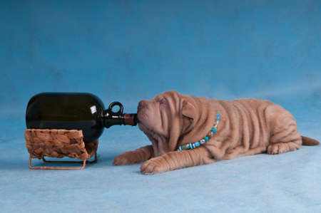Sharpei Puppy is Lying with a Big Bottle photo