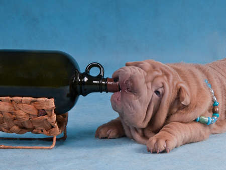 bad habits: Puppy of Sharpei is Drunk after a Bottle of Wine