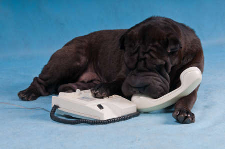 Black Shar-Pei Dog Talking over the Phone photo