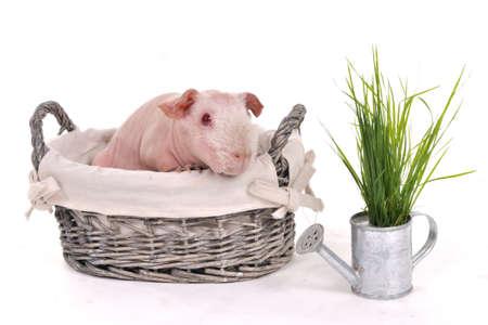 Bald Skinny Guinea Pig in a Basket photo