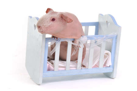 Funny Cavy in a child Cot photo