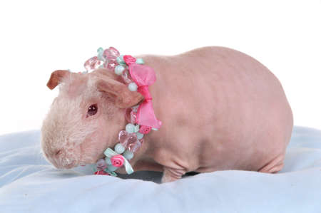 Bald Skinny Cavy wearing Necklace on a pillow photo