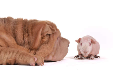 Big dog sniffing a small cavy photo
