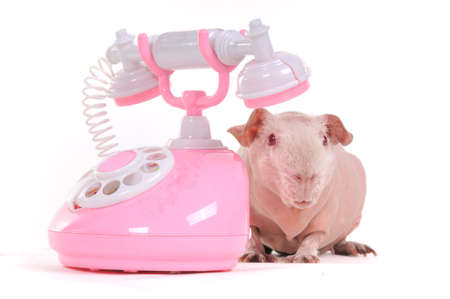 Guinea Pig is Wating for a Call photo