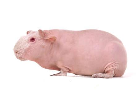 Red-Eyed Skinny Guinea Pig Portrait photo