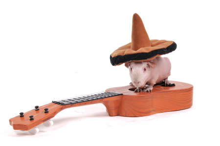 Guinea Pig sitting in hat on a Guitar photo