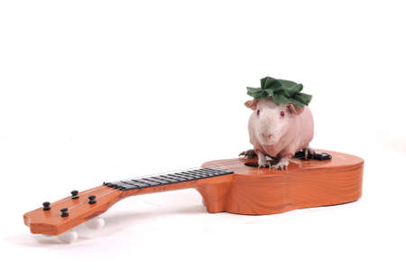 Cute Little Cavy Sitting on top of a Guitar photo