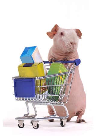 Funny Shopper - Bald Guinea Pig Stock Photo - 7413755