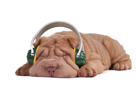 Puppy of Shar-Pei is dreaming while listening to music photo