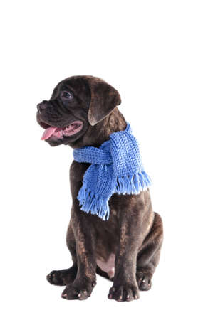 Sitting puppy half-face portrait with winter shawl photo