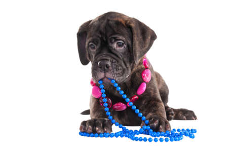 Modern fashionable puppy with necklace photo