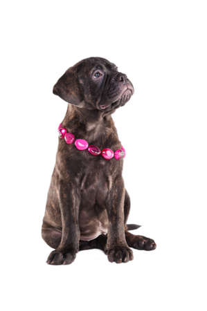 Portrait of a sitting puppy with a necklace photo