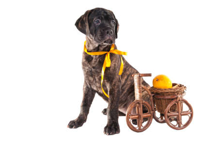 black puppy sitting next to a hand-made bicycle caring a lemon photo
