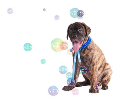 Modern Stylish puppy  playing with Soap Bubbles photo