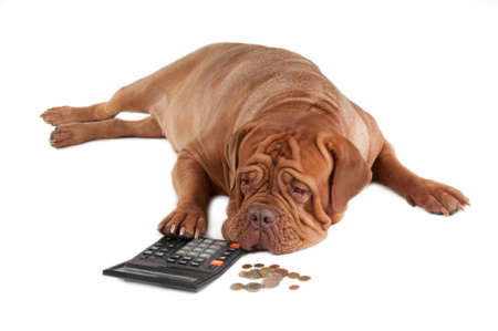 not a problem: Tired dogue de bordeaux calculating how much money he has till the end of the month Stock Photo